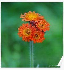 Orange Hawkweed Poster
