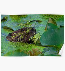 beaver and Lily Pads Poster