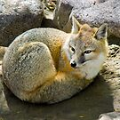 Swift Fox by Jerry Walter