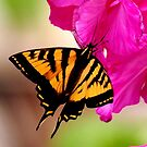 SWALLOWTAIL BUTTERFLY ON PINK by RoseMarie747