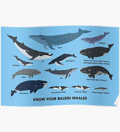 baleen whales essay