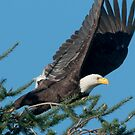 Bald Eagle Spots Its Prey by David Friederich