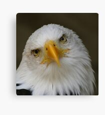 Bald Eagle pose Canvas Print