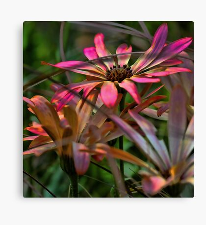 Zion Pink African Daisy Canvas Print
