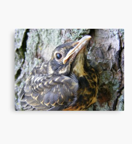 Baby American Robin Canvas Print