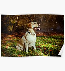 Yellow Lab in Forest Poster