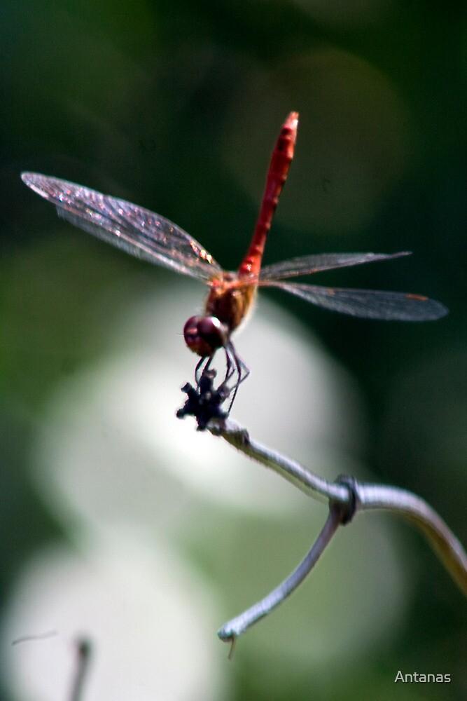 Dragon-fly by Antanas