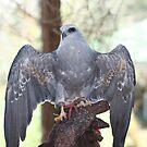 Hawk - A Bird of Prey by Missy Yoder