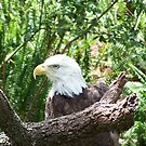 Close up of an American Eagle  by Missy Yoder