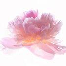 « Pink Peony » par Philippe Sainte-Laudy