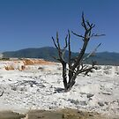 Dead Tree at Mammoth Hot Springs by Pete Janes