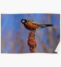 Robin on Staghorn Sumac  Poster