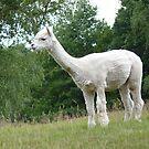 Llama or alpaca??? by Photos - Pauline Wherrell