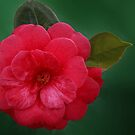 Red Cammelia by picketty