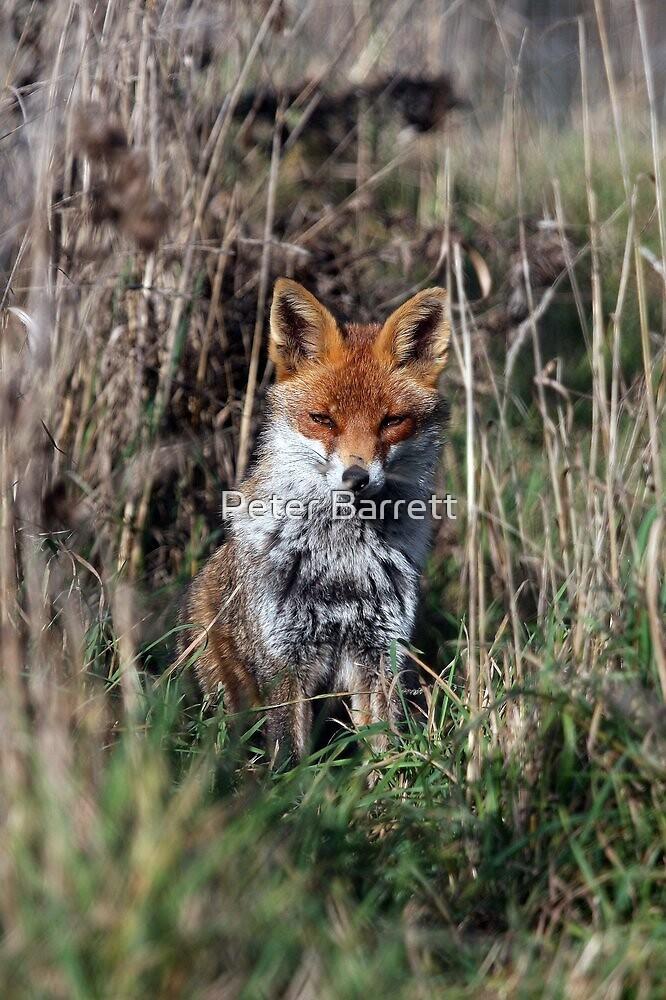Fox in grass by Peter Barrett