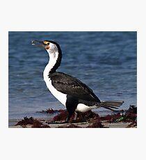 Australian Pied Cormorant Photographic Print