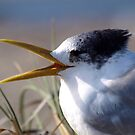 Greater Crested Tern by Jon Staniland