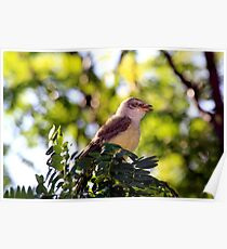 Juvenile Northern Mockingbird Poster