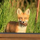 Red Fox with prey by whisperjo