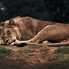 Lioness Sleeping by Roz McQuillan