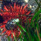 Vermillion Sea Urchin by CarrieAnn
