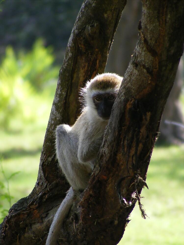 Hide and Seek Kenyan Monkey, Mombassa by MrEyedea