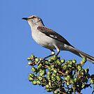 State bird of florida(mocking bird) by Anthony Goldman