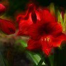 Amaryllis von Kathy Baccari