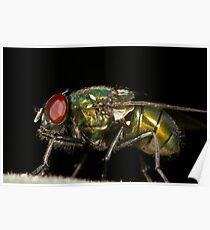 Green Blowfly Poster