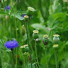 Cornflower by Bluesrose