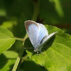 Holly Blue Butterfly von Jon Lees