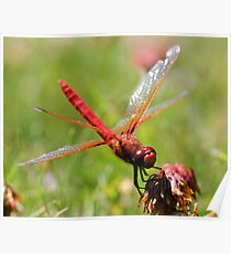 Portrait of a Cardinal Meadowhawk Poster