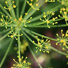 Dill by AbsintheFairy