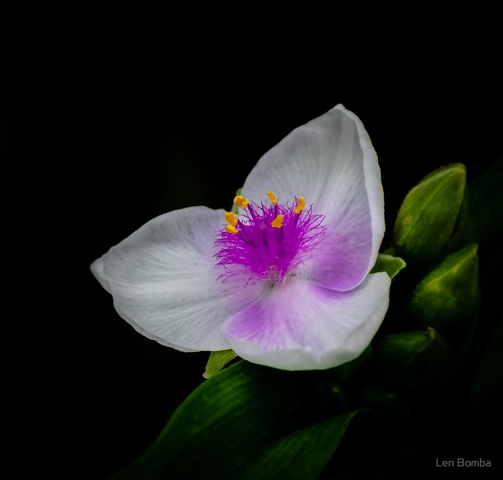 Spiderwort In White and Pink by Len Bomba