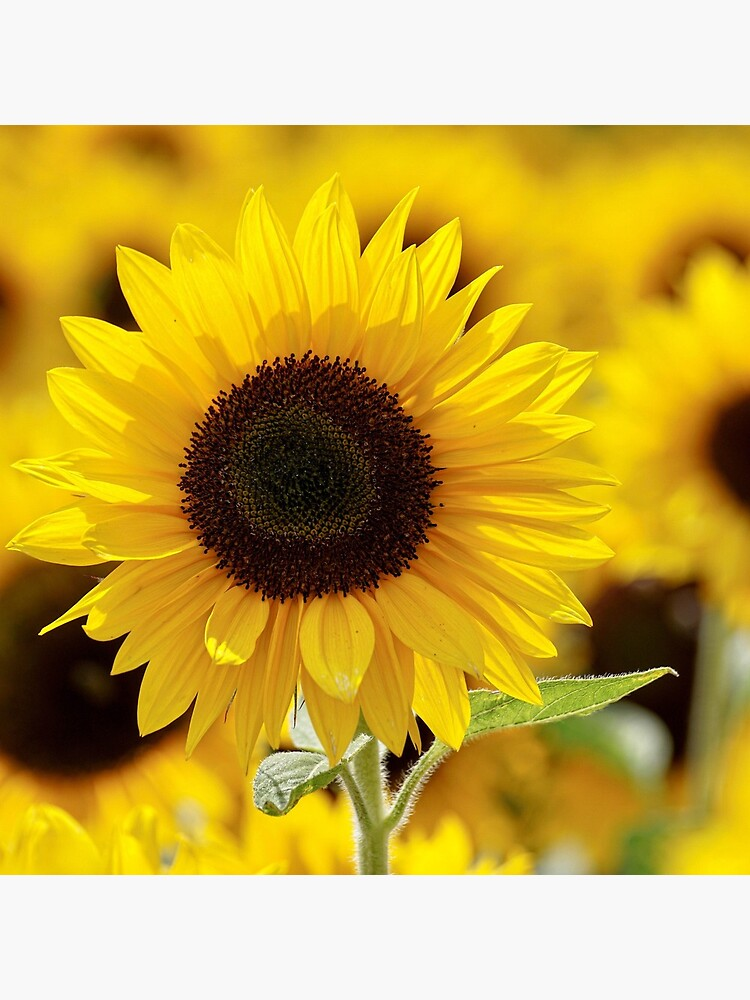 Sunflower by franceslewis