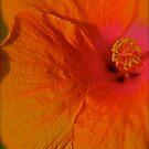 Orange Hibiscus by MaryGerken