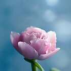 Single Pastel Pink Tulip by Gben