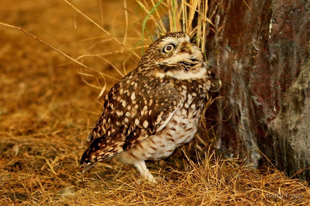 Burrowing Owl by Larry Trupp
