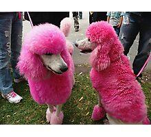 "Blue Dyed Standard Poodle ""Pink Poodles&quo..."