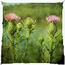 Bull Thistle by Aaron Campbell