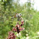 Dragonfly Macro by Dave & Trena Puckett