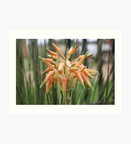 Aloe cooperi - flower Art Print