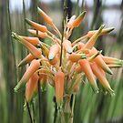 Aloe cooperi - flower by Maree Clarkson