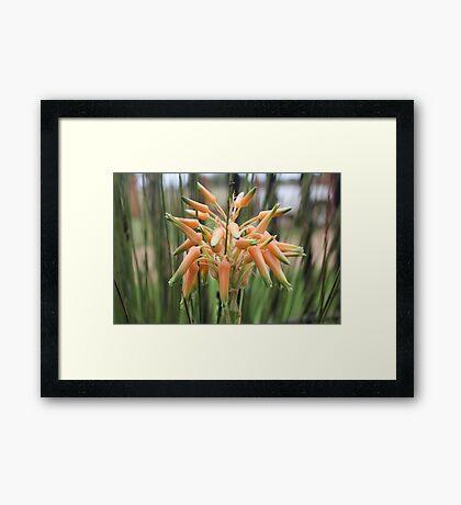 Aloe cooperi - flower Framed Print