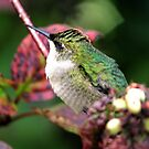Female Ruby-throated Hummingbird by Larry Trupp
