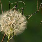 Dandelion by JHRphotoART