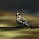 Female Mountain Bluebird by Vickie Emms