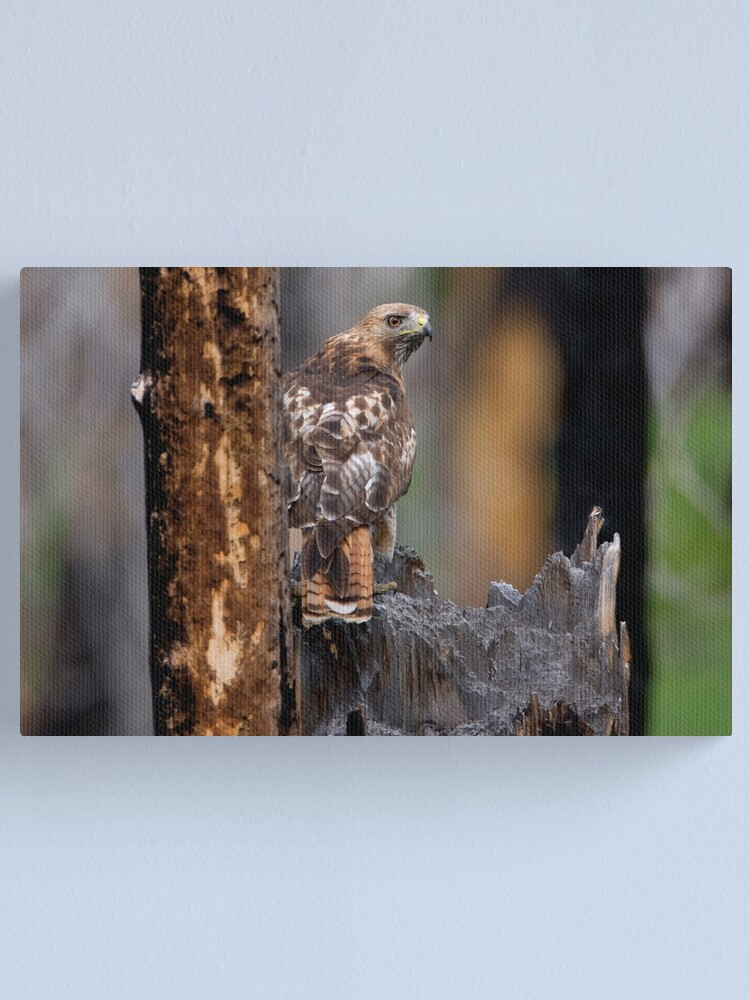 Alternate view of Red-tailed Hawk Canvas Print
