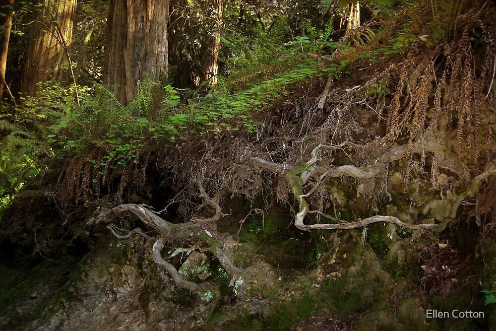 Roots of Redwoods by Ellen Cotton