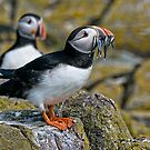 Puffin with catch by Brian Tarr